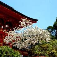 花見 上賀茂神社