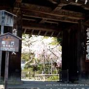 花暦 桜 二尊院