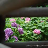 あじさい 紫陽花