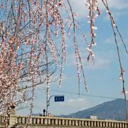 花見 観桜 賀茂大橋袂