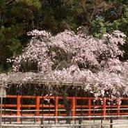 賀茂曲水宴 桜 花見 上賀茂神社