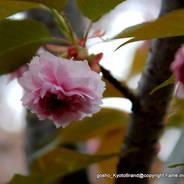 花見 八重桜  千本ゑんま堂 引接寺