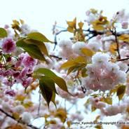 花見 八重桜 千本ゑんま堂 引接寺 紫式部
