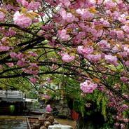 花見 八重桜 高瀬川一の舟入 角倉了以