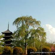 花見 東寺