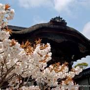 花見 八重桜 仁和寺