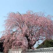 花見 妙覚寺 善明院