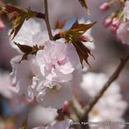 花見 妙覚寺