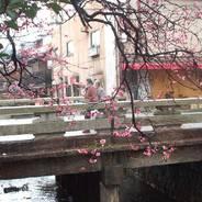 梅 祇園白川