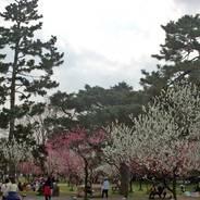 桃の節句 京都御苑 桃林