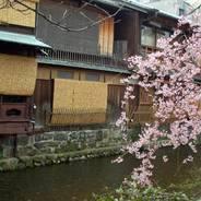 花見 観桜 祇園白川