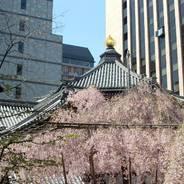 花見 観桜 頂法寺 六角堂