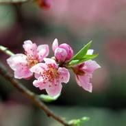 花見 京都御苑 桃林 蛤御門