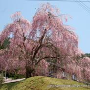 花見 観桜 常照皇寺