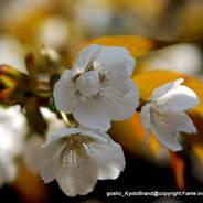 花見 観桜 常照皇寺 御車返しの桜
