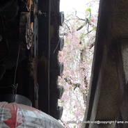 花見 観桜 雨宝院 西陣聖天宮  嵯峨天皇 久邇宮朝彦親王
