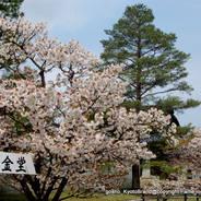 花見 観桜  仁和寺 おたふく桜