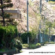 花見 観桜 国道162号