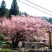 花見 観桜 春日神社 百年桜