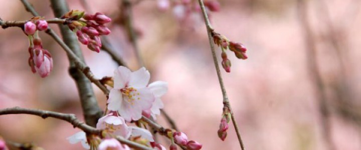 090324_konoeyei_itozakura_UP_2009.3.19DSC_0359_edited