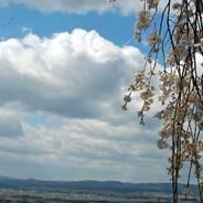 桜 花見 地蔵禅院