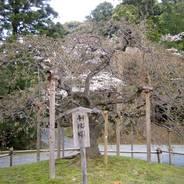 桜 花見 大原野神社