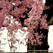 桜 花見 観桜 早咲き桜 平安荘跡