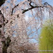桜 花見 観桜 早咲き桜 祇園白川