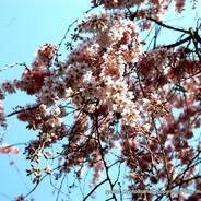 桜 花見 観桜 早咲き桜 京都御苑 近衛邸跡