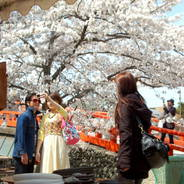 桜 花見 観桜 宇治川さくらまつり 炭山陶器まつり