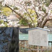 桜 花見 観桜 宇治川さくらまつり 石碑 橘島