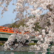 桜 花見 観桜 宇治川さくらまつり 橘島 朝霧橋