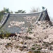 桜 花見 観桜 宇治川さくらまつり 世界遺産 宇治観光 宇治平等院