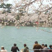 桜 花見 観桜 宇治川さくらまつり 朝霧通り