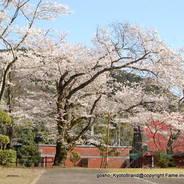 桜 花見 宇治川さくらまつり 宇治変電所