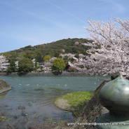桜 花見 観桜 宇治川さくらまつり 宇治中ノ島