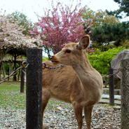 平城遷都1300年祭 奈良公園